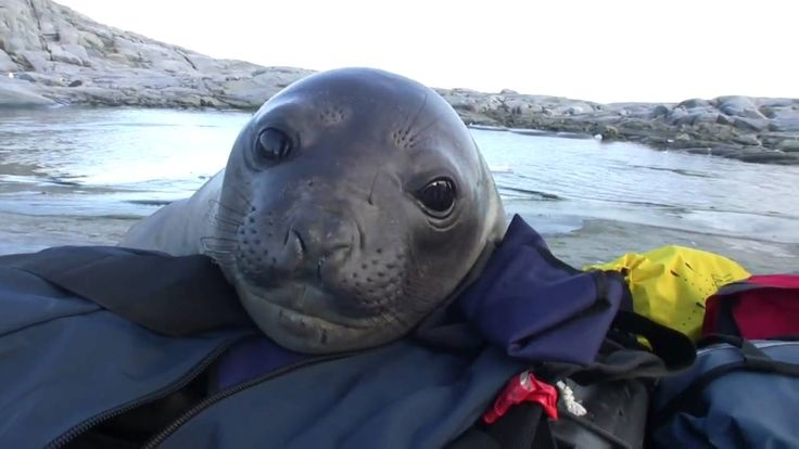 Curious Baby Elephant Seal