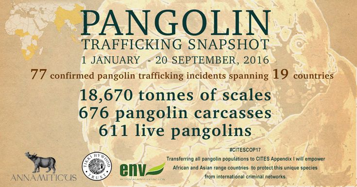 September 2016: Of the 18,670 tonnes of pangolin scales seized, 13,400 tonnes were plundered from the African continent.