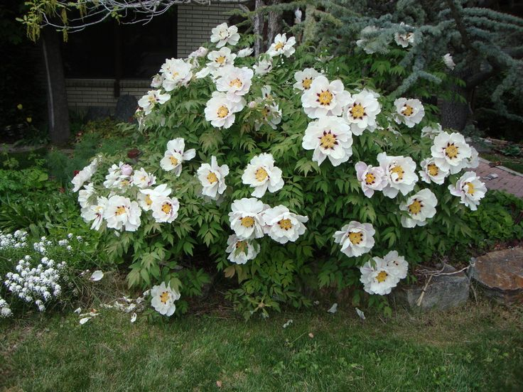 Tree Peony ( Paeonia rockii 'Joseph Rock') posted by Paul2032