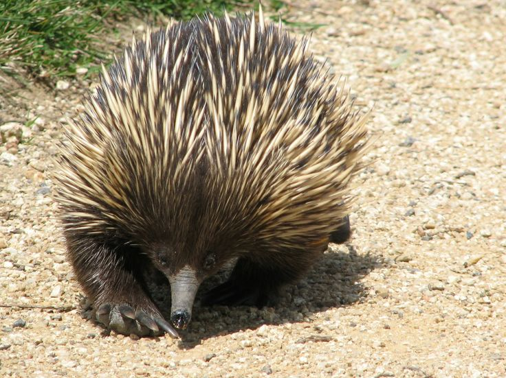A few years ago now I was down at the Carillon on the shores of Lake Burley Griffin, testing out a new camera - wow, deja vu! - when along comes this chap, just rolling along as if he wasn't a living fossil adrift in the national capital.  An echidna, one of the two mammals that lay eggs (the other being the shy platypus), and not exactly common. Also known as the spiny anteater, he relishes small insects, and uses those formidable claws to destroy termite mounds.