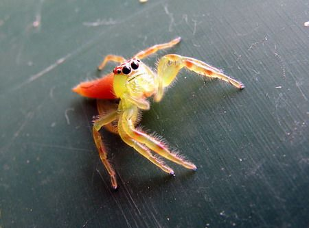 spiders - THE GREEN JUMPING SPIDER  Also known as the Clown Spider and Northern Green Jumping Spider.