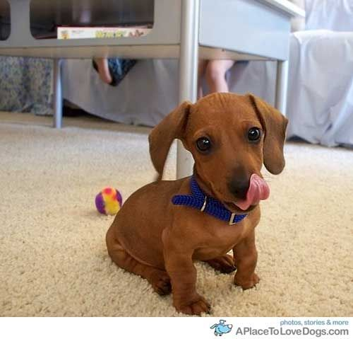 Miniature Dachshund named Henry