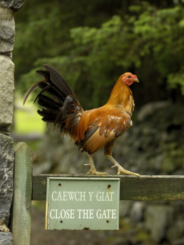 A Rooster Stands on a Fence with Sign in Gaelic and English  by Jim Richardson