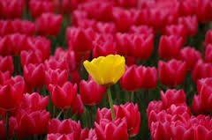 omdat alle bloemen hier roze zijn valt die ene aparte gele bloem extra op dat is een typisch voorbeeld van een kwantiteitscontrast