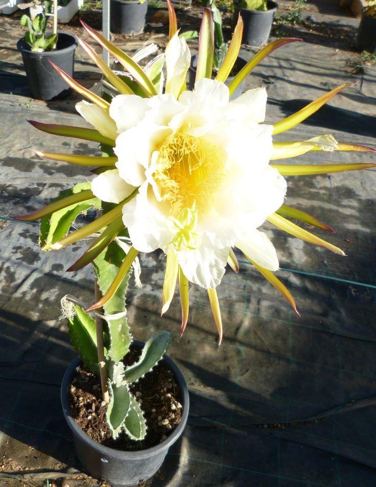 flor pitaya vermelha