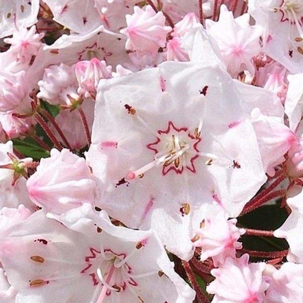 Kalmia latifolia - Laurier des montagnes rose pâle