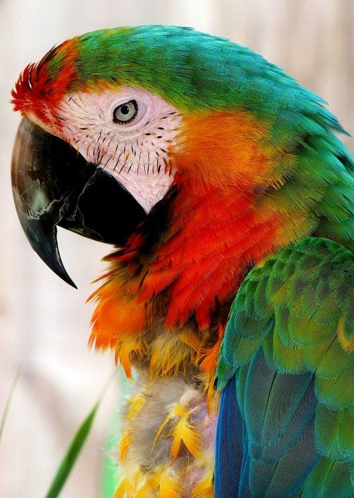 Catalina Macaw by ~Lannie Possum   A Catalina Macaw is a hybrid of a Blue & Gold Macaw and the Scarlet Macaw.  As a hybrid, they are sterile and cannot reproduce.