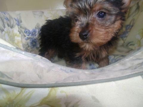 Yorkshire Terrier Puppy For Sale In Paterson Nj Adn 65304 On Puppyfinder Com Gender Male Age 10 Yorkshire Terrier Puppies Yorkshire Terrier Yorkie Terrier