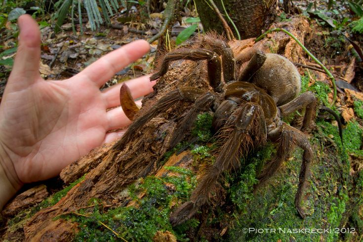 The South American Goliath birdeater (Theraphosa blondi) is the world's largest spider, according to Guinness World Records. Its legs can reach up to one foot (30 centimeters) and it can weight up to 6 oz. (170 grams).