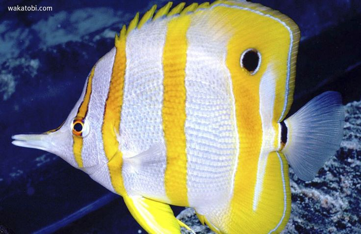 The Copperband Butterflyfish is easily recognized by thecopper colored vertical bands over a silver heavily compressedbody. It has a blackeye spot on its dorsal fin and a blackband around the base of its tail fin.It has a fairly long snout which it uses to pick small food from crevices. (Photograph: Steven Miller)