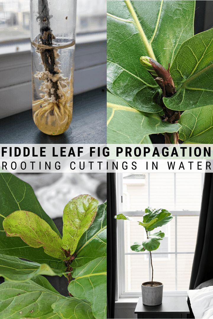 Fiddle Leaf Fig Propagation Fiddle Leaf Fig Fiddle Leaf Fig Plant