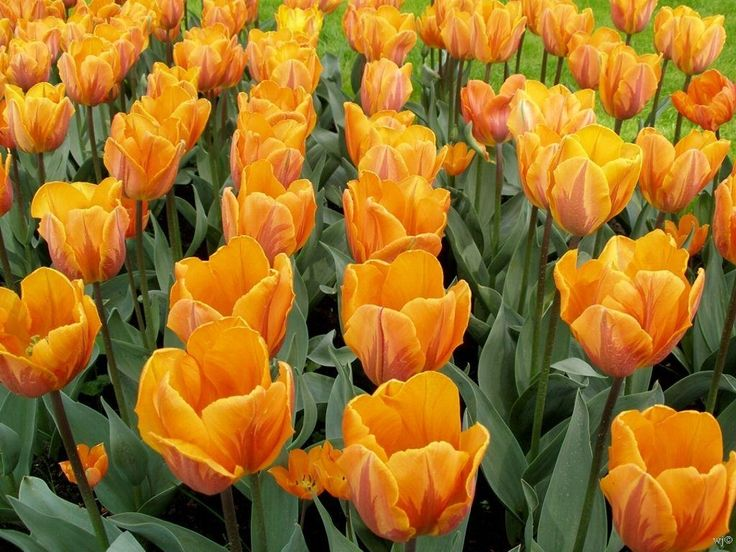 tulip pictures | growing tulip flowers is easy even for the novice gardener in the fall ...