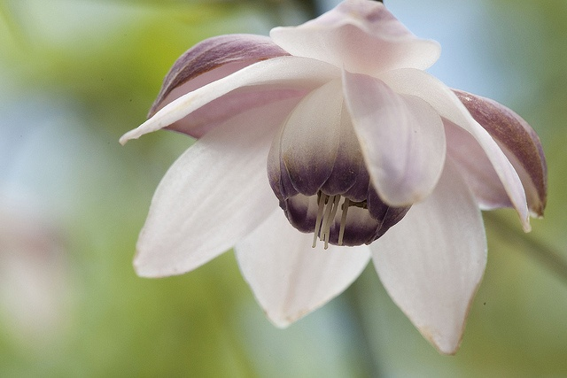 Anemonopsis Macrophylla by Loafer1952, via Flickr