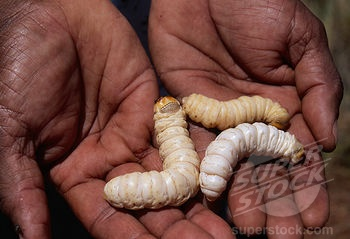 how to cook witchetty grubs