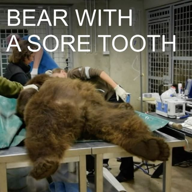 """BBC News on Instagram: """"6 OCT: How do you treat a bear with a sore tooth? Watch how one dentist gave two bears from Poznan zoo in Poland dental treatment. Find out more: bbc.in/beardentist #Bears #Animals #Dentist #Zoo #Poland #BBCShorts #BBCNews @BBCNews 🐻"""""""