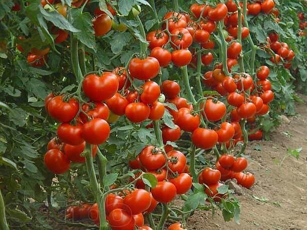 Собирать до 50-60 помидоров с каждого куста может каждый дачник! Секрет такого урожая прост: один куст помидоров нужно выращивать на двух корнях - и место экономится, и урожай будет обильнее. Сорт при этом не имеет значения.