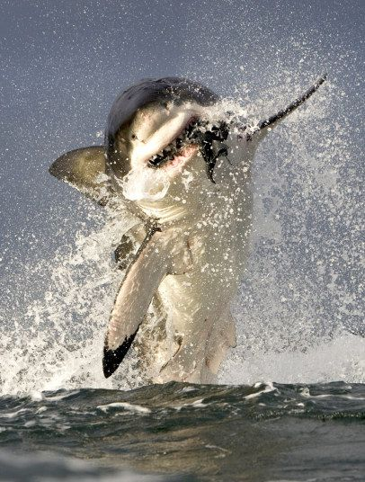Wildlife photographer Chris Fallows took this picture of a great white shark breaching to attack a dummy seal off the coast of Seal Island in False Bay, South Africa Picture: C & M Fallows/SeaPics/Solent