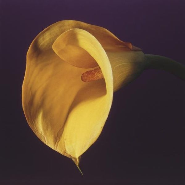 Robert Mapplethorpe, Calla Lily at www.meadcarney.com   #RobertMaplethorpe #MeadCarney #London #art #artgallery #photography #lilly