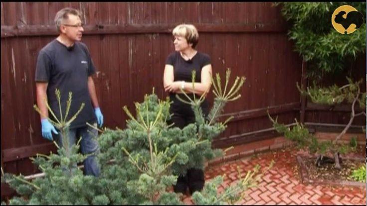 Сосны в саду-2 Ландшафтные хитрости 69