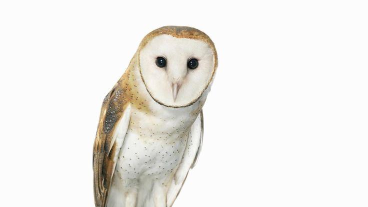 spiritual-meaning-of-a-white-owl_2140d1fe-0428-4b03-af77-5b6a538d137f.jpg (1400×787)