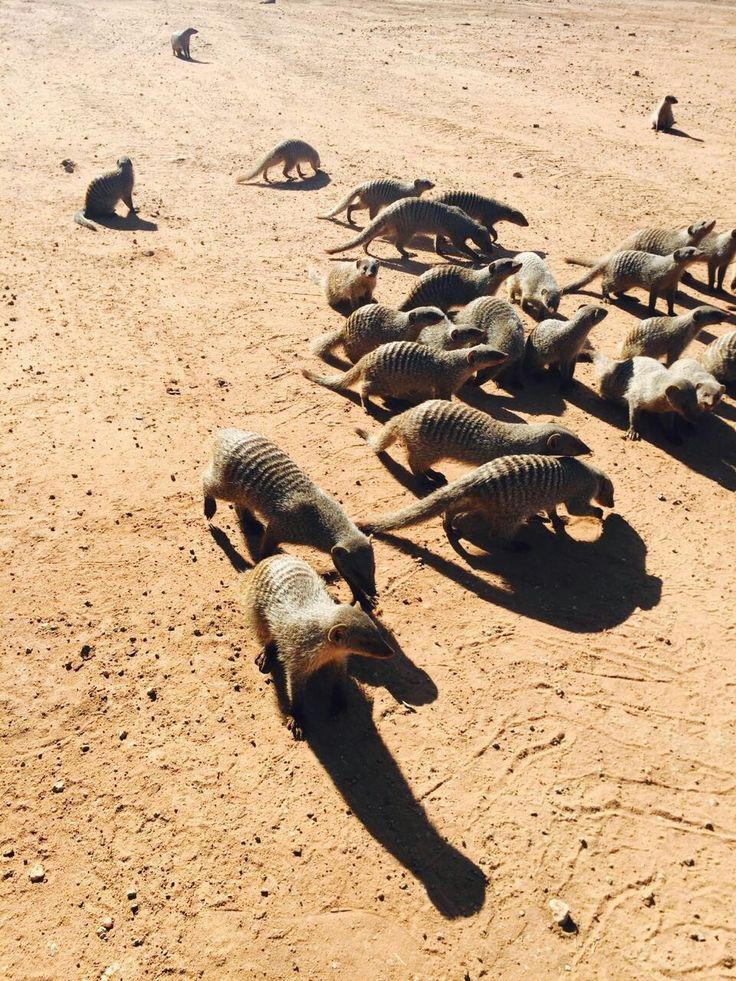 Banded mongoose Tsipise