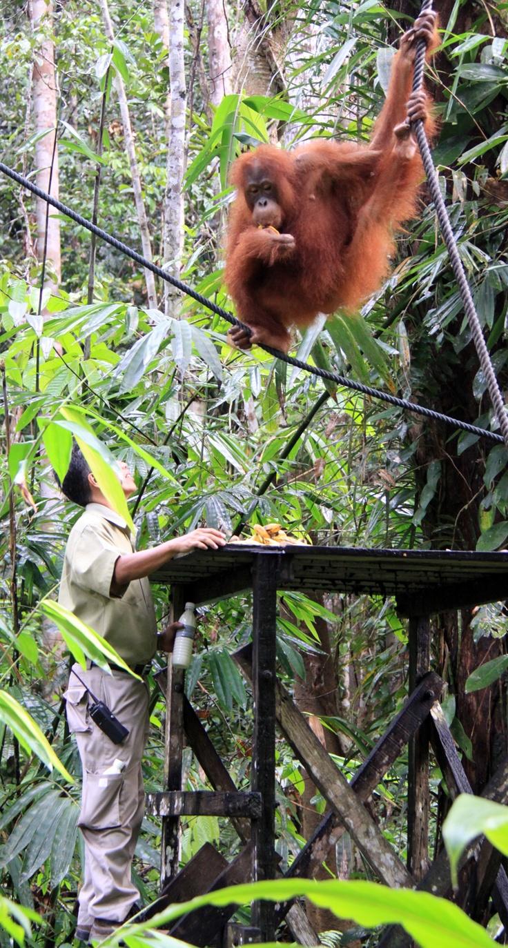 Borneo Hotels Near Orangutan Sanctuary