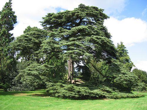 Cedars of Lebanon aka Downton Abbey trees