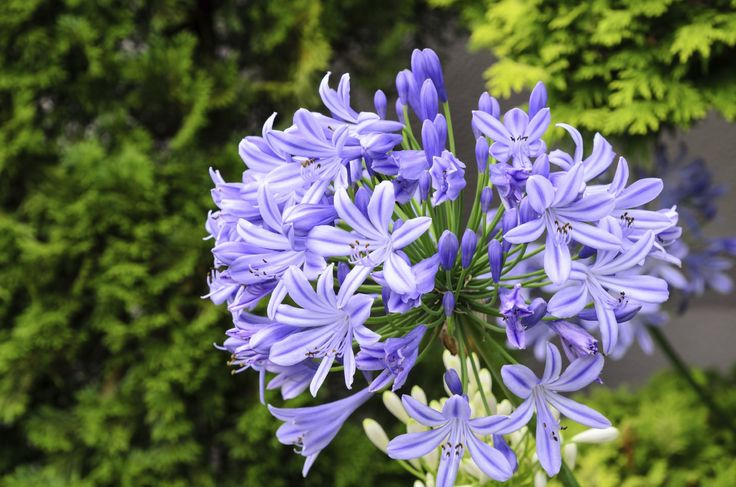 Best Fertilizer For Agapanthus: Learn About Agapanthus Care And ...