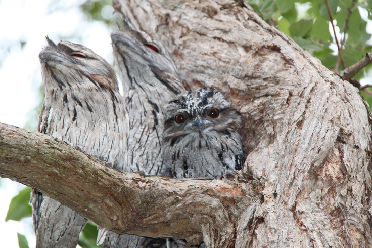 Tawny Frog Mouths with Baby