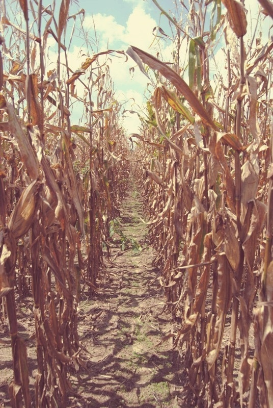 Oh my goodness I spend So much time in Corn fields in the summer totally taking a couple pictures like this :-)
