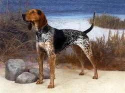 English CoonhoundAmerican English Coonhound, Redtick Coonhound L'American English Coonhound fut développé quand les descendants du Foxhound Anglais, à l'époque appelés chiens de chasse de Virginie, furent élevés pour s'adapter à un terrain difficile. Au départ, ces chiens étaient utilisés pour chasser le renard le jour, et les ratons laveurs la nuit, ils étaient appelés English Fox (fox : renard) et coonhound (raccoons : raton laveur).