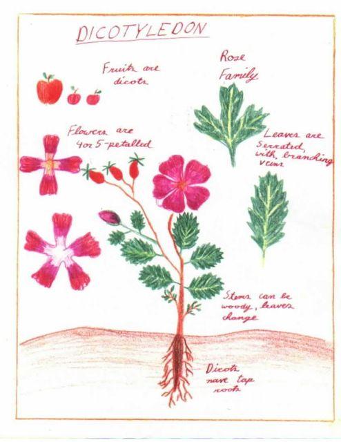 Waldorf ~ 5th grade ~ Botany ~ Dicotyledons ~ main lesson book
