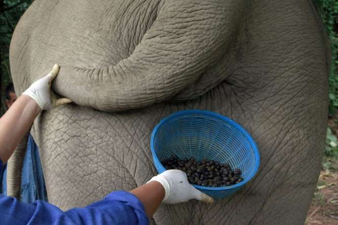 Bom Dia! vai um cafezinho aí? CAFÉ BLACK IVORY (MARFIM NEGRO) Este café é feito a partir das sementes dadas como ração para elefantes tailandeses. Os animais então defecam e seu material fecal está pronto para ser usado para passar um cafezinho. Hmmm