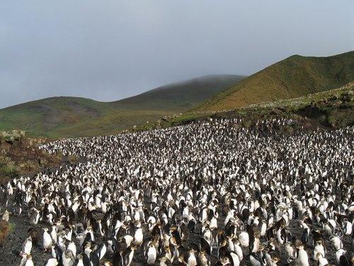 Penguins on Macquarie Island