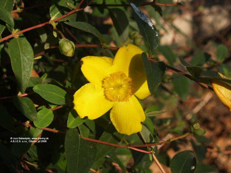 | Ľubovník kalíškatý | Hypericum calycinum