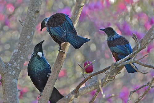 pictures of tuis - Google Search