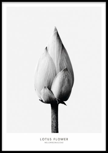 Lotus Flower, poster. Stilren botanisk poster i svartvitt med fotografi på en lotusblomma. Postern har grå bakgrund med vit kant runt. Se även vår andra poster Thistle flower i samma kollektion under kategorin botaniska. Fint fotografi som passar i många hem.