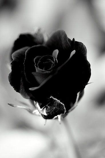 Black Rose #lifescenes, #bestofpinterest, https://facebook.com/apps/application.php?id=106186096099420