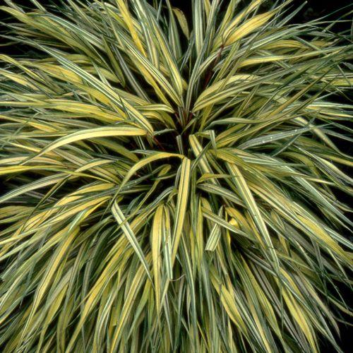 122 best grasses herbs images on pinterest ornamental grasses garden grass and flower beds. Black Bedroom Furniture Sets. Home Design Ideas