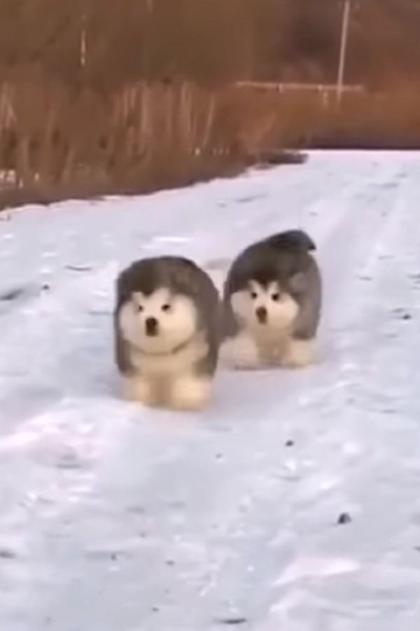 Adorable And Fluffy Husky Puppies Running In The Snow Video