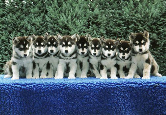 Alaska Malamut Puppy's