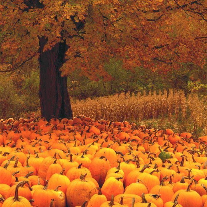 "Image: by Charlie Waite. ""Pumpkins."" VT.  Stunning orange fall glow in a pumpkin patch."