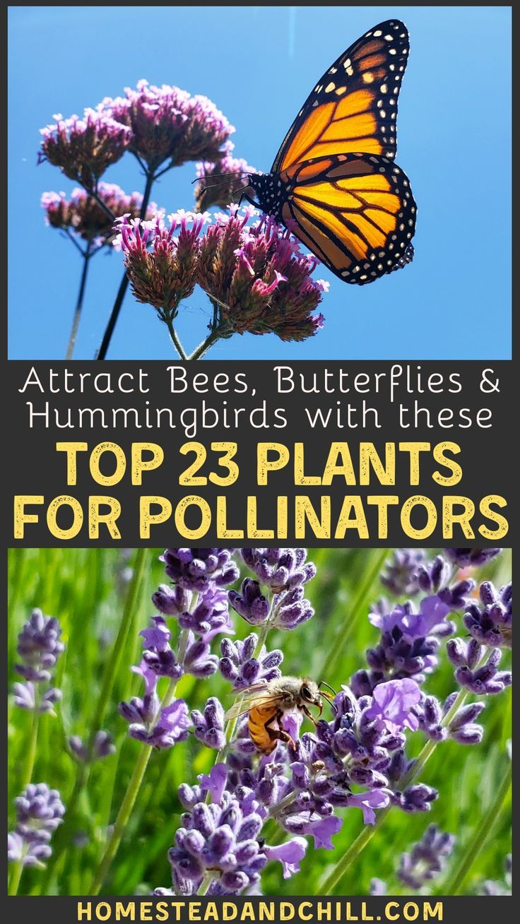Top 23 Plants For Pollinators Attract Bees Butterflies Hummingbirds Homestead And Chill In 2020 Pollination Pollinator Garden Attracting Bees