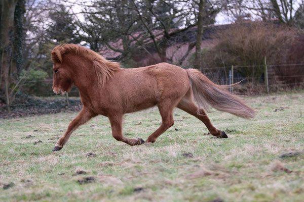 VERKAUF - Islandpferde von Heyden