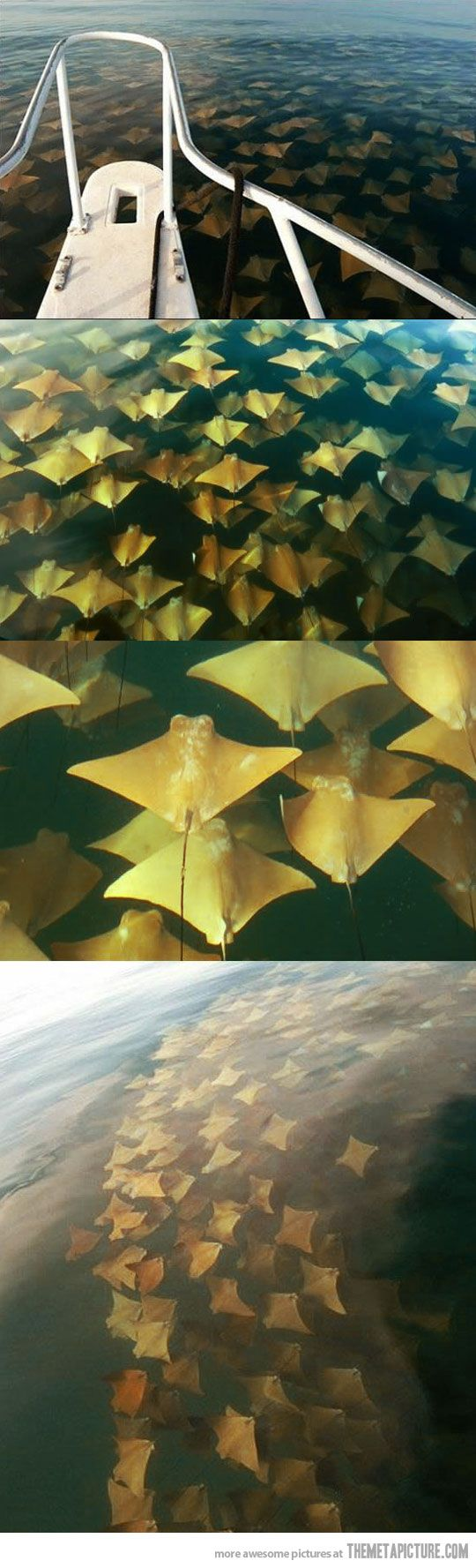 I wanna see The mass migration of the Cownose Ray in the Gulf of Mexico