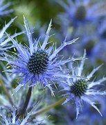 Edeldistel Mannstreu Blume, Eryngium