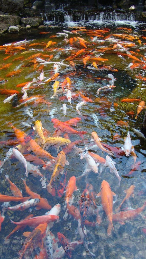 Koi fish pond koi fish pinterest estanques carpas for Estanque carpas koi