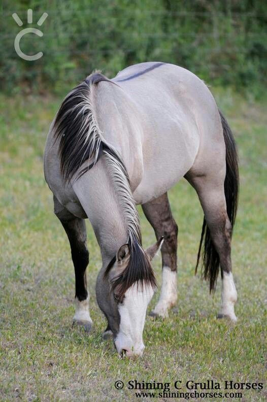 Reining in Diamonds AQHA grullo mare - owned by Shining C Grulla horses