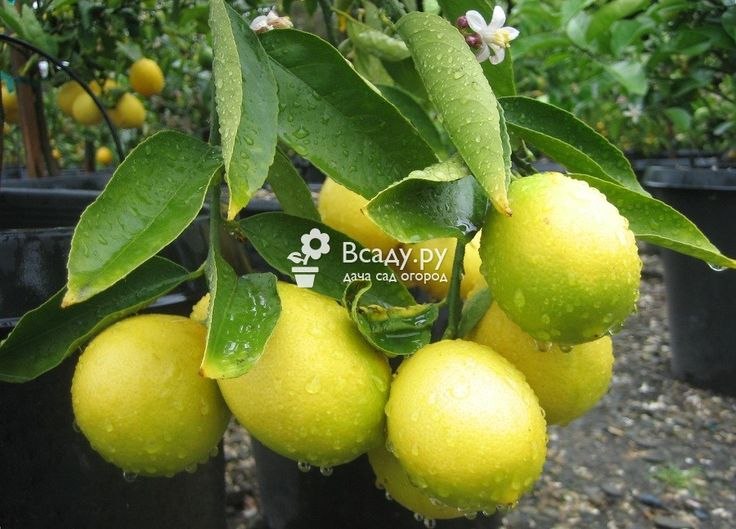Лимонное дерево, выращенное в домашних условиях
