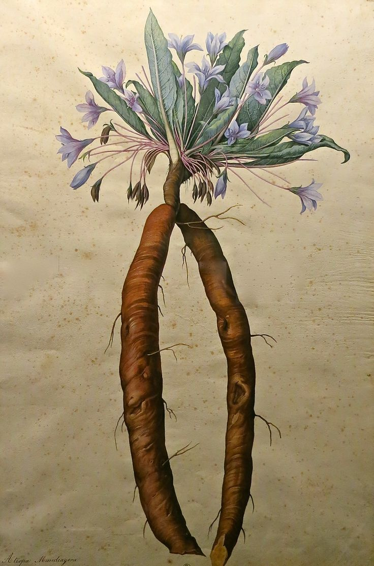 Le erbe delle streghe: unguenti per volare